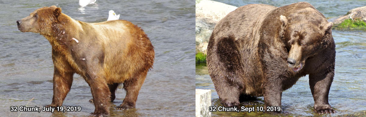 Chunk the bear, before and after picture.